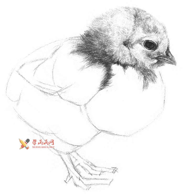 动物素描教程_铅笔画一只毛茸茸的小鸡(7)