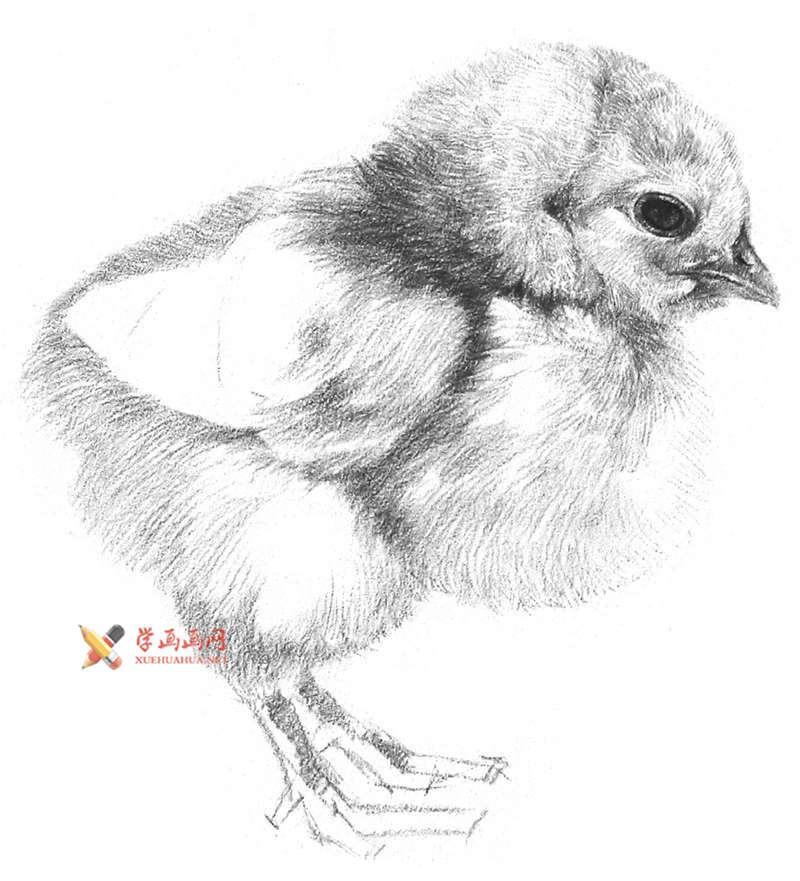动物素描教程_铅笔画一只毛茸茸的小鸡(8)