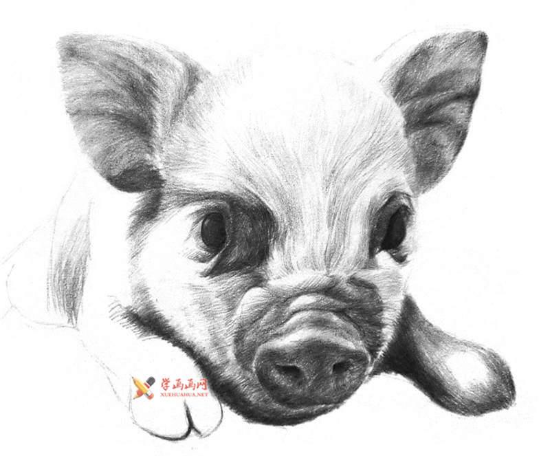 用铅笔画一只素描小猪(3)