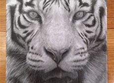 老虎素描图片1幅欣赏