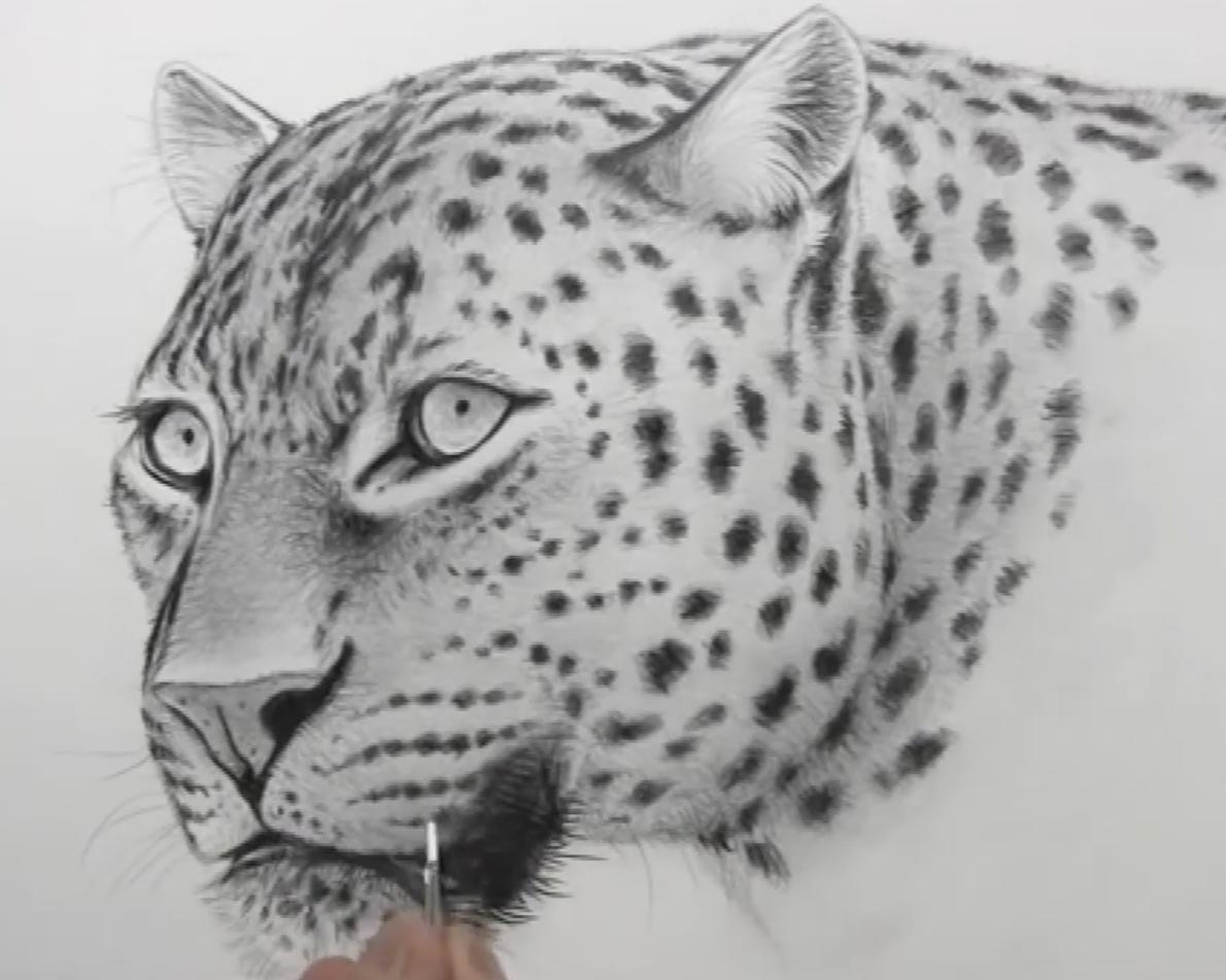 素描花豹的画法视频教程(1)